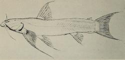 Astroblepus pholeter - Click for species data page