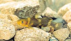 Tachysurus brevicorpus - Click for species data page