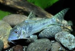 Corydoras(ln1) aurofrenatus - Click for species page