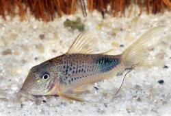 Corydoras(ln1) ourastigma - Click for species page