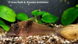 Corydoras(ln1) saramaccensis - Click for species page