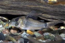 Corydoras(ln1) simulatus - Click for species page