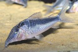Corydoras(ln1) sp. (Cw073) - Click for species page