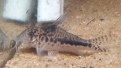 Corydoras(ln1) sp. (Cw143) - Click for species page