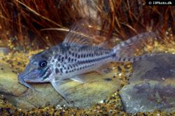 Corydoras(ln1) vittatus - Click for species page