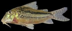 Corydoras(ln1) zawadzkii - Click for species page