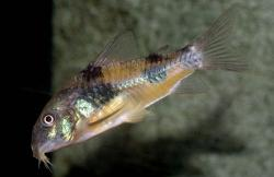 Corydoras(ln6) ehrhardti - Click for species page