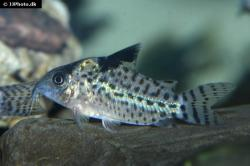 Corydoras(ln8sc4) agassizii - Click for species data page