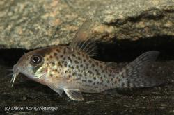 Corydoras(ln9) kanei - Click for species page