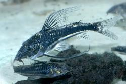 Scleromystax sp. (C113) - Click for species page