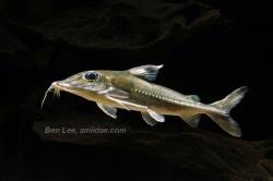 Hassar orestis - Click for species data page