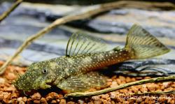 Ancistrus aguaboensis - Click for species data page