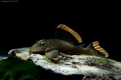 Baryancistrus chrysolomus - Click for species data page