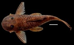 Chaetostoma anale