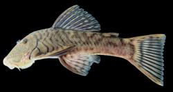 Chaetostoma breve - Click for species page