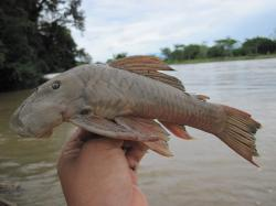 Chaetostoma brevilabiatum - Click for species page