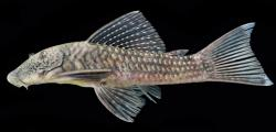 Chaetostoma dermorhynchus - Click for species page