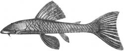 Chaetostoma lepturum - Click for species page