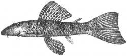 Chaetostoma paucispinis - Click for species page