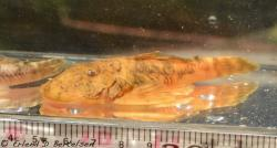 Chaetostoma platyrhynchus - Click for species page
