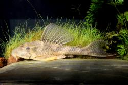 Hypostomus boulengeri - Click for species page