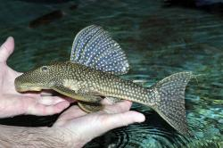 Hypostomus myersi - Click for species data page