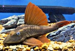 Hypostomus soniae - Click for species page