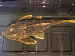 Hypostomus sp. (L517)