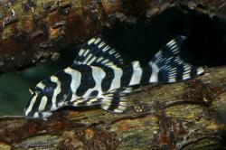 Peckoltia compta - Click for species page