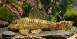 Peckoltia otali - Click for species page