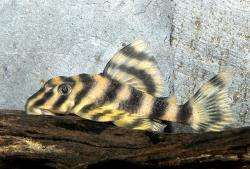 Peckoltia vittata - Click for species page