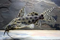 Synodontis velifer - Click for species page