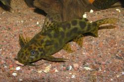 Synodontis waterloti - Click for species data page