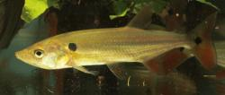 Acestrorhynchus falcatus - Click for species data page