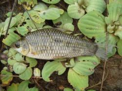 Leporinus friderici - Click for species data page