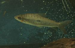 Leporinus niceforoi - Click for species data page