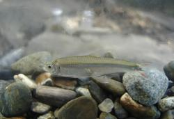 Argopleura magdalenensis - Click for species data page