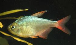 Hyphessobrycon columbianus - Click for species data page