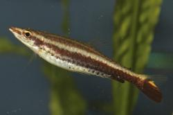 Nannostomus eques - Click for species page