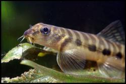 Nemacheilus stigmofasciatus - Click for species data page