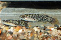 Fundulus chrysotus - Click for species data page