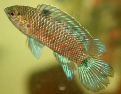 Badis badis - Click for species data page