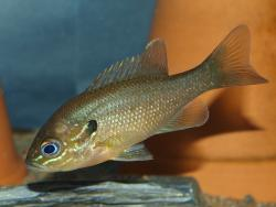 Lepomis auritus - Click for species data page