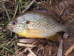 Lepomis gibbosus - Click for species data page