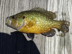 Lepomis gulosus - Click for species data page