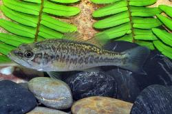 Micropterus salmoides - Click for species data page