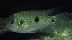 Anomalochromis thomasi - Click for species data page