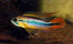 Apistogramma agassizii - Click for species data page