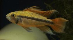 Apistogramma cacatuoides - Click for species page