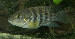 Benitochromis batesii - Click for species data page